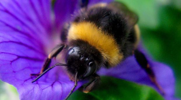 Increasing evidence shows the pesticides cause harm to important pollinating insects such as bees (Clara Molden/PA)