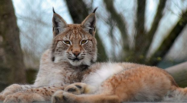 Lillith, a young Eurasian lynx which was destroyed after it escaped from a wildlife park in Wales (Borth Wild Animal Kingdom/PA)