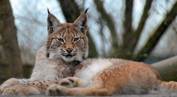 Lilith, a young Eurasian lynx, escaped from the wildlife park in Wales (Borth Wild Animal Kingdom/PA)