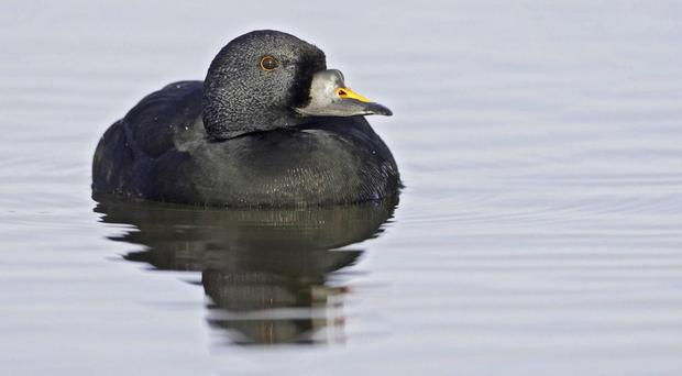The common scoter is among the birds said to be in danger (Mark Hamblin/RSPB/PA)
