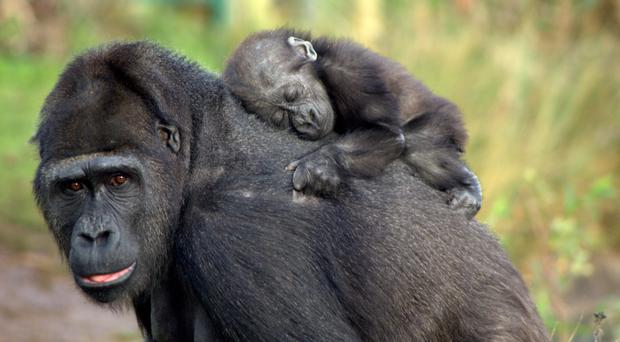 Touni the gorilla with her baby Ayana (Jenny Scully/Bristol Zoo Gardens/PA)