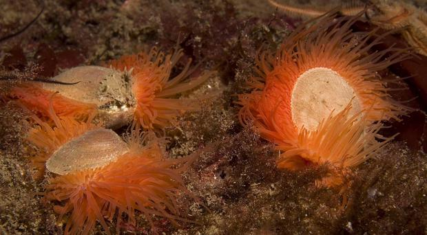 Around 250 million flame shells were found during survey works at Loch Carron (Marine Scotland/PA)