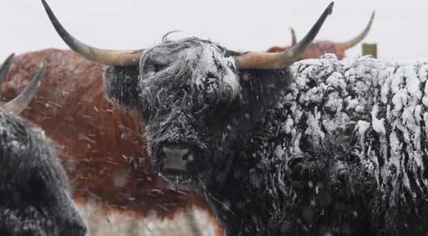 Highland cattle in the snow by the A66 in Durham (Owen Humphreys/PA)