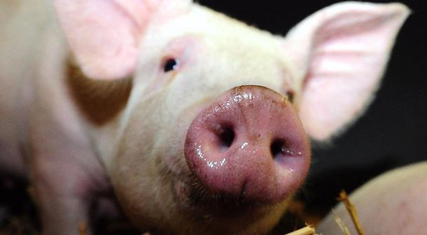 A Co Londonderry pig farm has won the UK's biggest Chinese export order for frozen boar semen. (Owen Humphreys/PA)