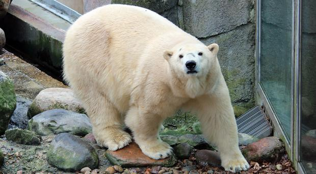 Polar bear cub born at Highland Wildlife Park