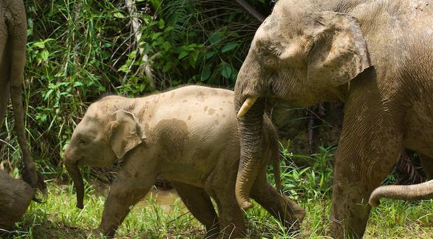 Scientists believe Bornean elephants may have migrated between the Sunda Islands in Southeast Asia during low sea levels (Cardiff University/PA)