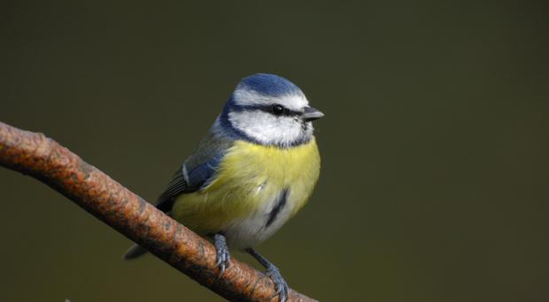 Blue tit in a garden (Ray Kennedy/RSPB/PA)
