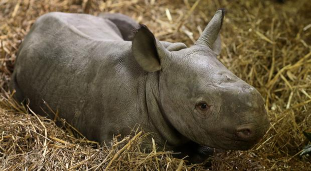 A three-week-old unnamed Black Rhino calf in his enclosure at Port Lympne Wild Animal Park (Gareth Fuller/PA)