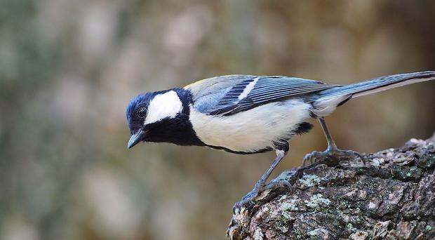 The Japanese tit. Specific alarm calls make it think of snakes, a study shows (Kyoto University / Toshitaka Suzuki/PA)