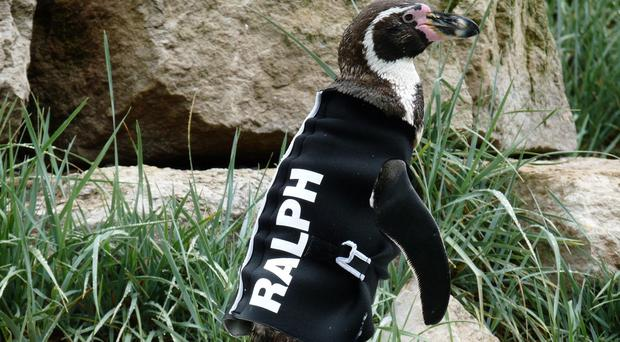 Ralph was given a wetsuit to help prevent him from getting sunburnt (Marwell Wildlife/PA)