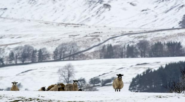A sheep in snowy conditions near Hardraw in the Yorkshire Dales National Park in January (Danny Lawson/PA)