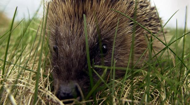 Hedgehog numbers have halved in the countryside, conservationists say (Andrew Milligan/PA)