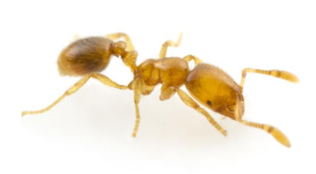 The thief ant produces a powerful antibiotic that could be effective against human infections (Magdalena Sorger/PA)
