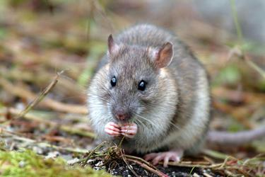Relentless rats' force mum and children from 'dream