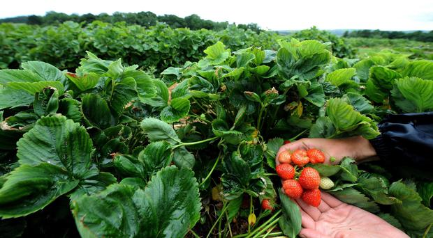 Fewer than 1% of the seasonal workers carrying out jobs such as fruit-picking were UK nationals (Owen Humphreys/PA)