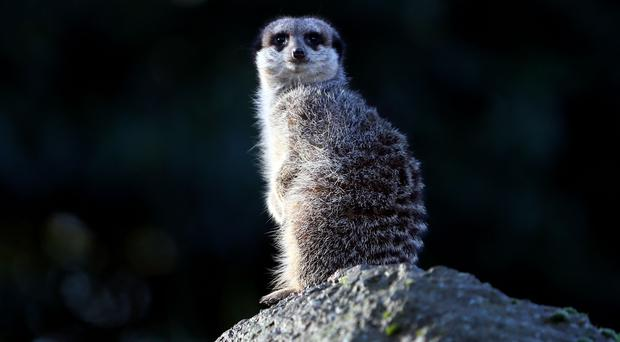 Meerkats are among the animals at the Little Africa enclosure (Steve Parsons/PA)