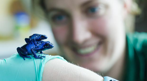 A blue poison dart frog bred at Paignton Zoo (Paignton Zoo/PA)