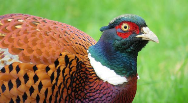 Dominant male pheasants learn faster than their downtrodden rivals, new research shows (University of Exeter/PA)