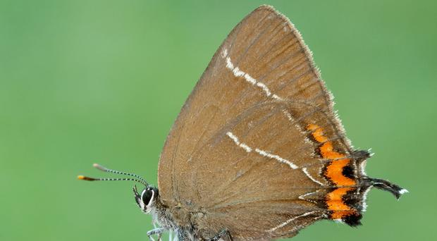 White-letter hairstreak butterflies could be breeding in Scotland for the first time since 1884 (Iain Leach/Butterfly Conservation/PA)