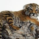A 10-day old stuffed tiger cub seized by the Metropolitan Police Service Wildlife Crime Unit (Rebecca Naden/PA)