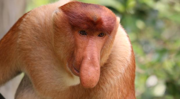 Scientists studying proboscis monkeys in Malaysia have found exaggerated male traits, such as a large nose, can be great for attracting females (Ikki Matsuda/PA)
