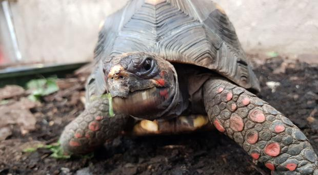 Huck the red-footed tortoise was stolen from a butterfly house in Midlothian (Police Scotland/PA)