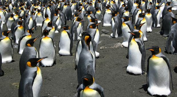 A colony of king penguins (Celine LeBohec/PA)