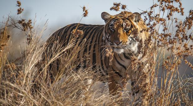 Tigers could be lost from a third of protected areas, experts warn (Ola Jennersten / WWF-Sweden/PA)