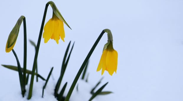 Daffodils surrounded by snow (Brian Lawless/PA)
