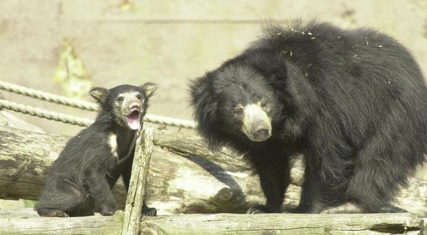 The sloth bear was defending its cub (PA)