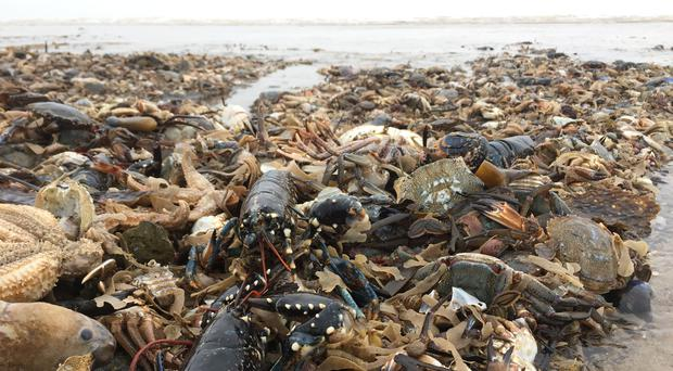 Thousands of sea creatures have washed up on beaches after the 'beast from the east' (Bex Lynam, Yorkshire Wildlife Trust/PA)