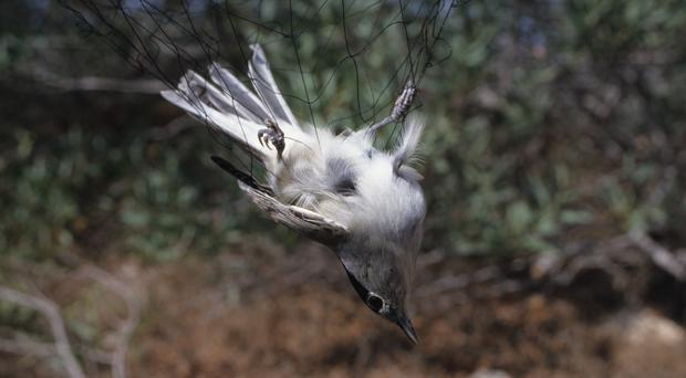 Birds such as black caps are illegally caught in mist nets on British territory in Cyprus (Guy Shorrock, RSPB/PA)