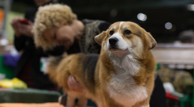 Ink, a Welsh Corgie, is groomed during the first day of Crufts 2018 (Aaron Chown/PA)