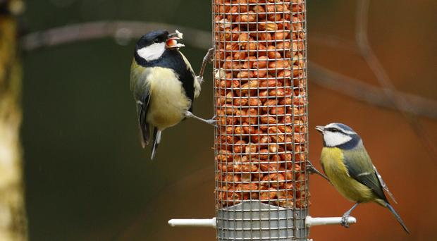 A great tit, left, and a blue tit feed together in a Hampshire garden (Chris Ison/PA)