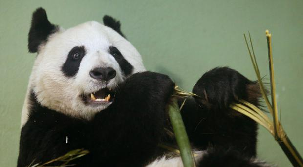 Tian Tian eats in her enclosure at Edinburgh Zoo (Andrew Milligan/PA)