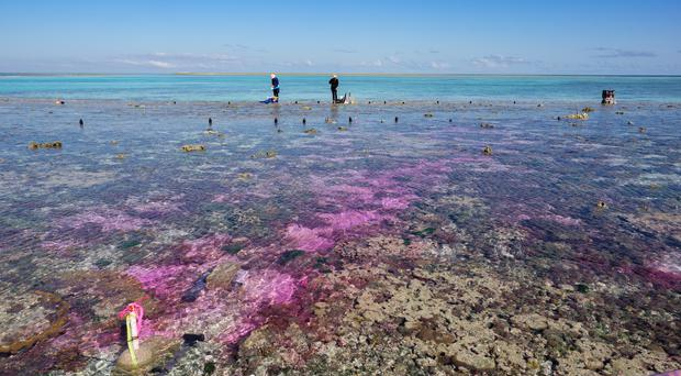 A plume of carbon dioxide enriched seawater, dyed red, flows across a coral reef flat on Australia's Great Barrier Reef. (Aaron Takeo Ninokawa/UC Davis/PA)