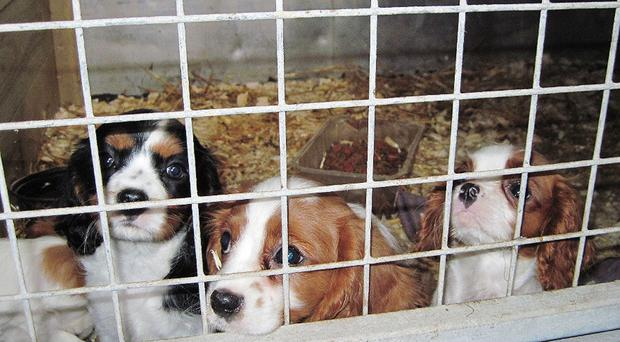 Almost half the 302 animals taken into care in 2017 were victims of the illegal puppy trade (Scottish SPCA/PA)