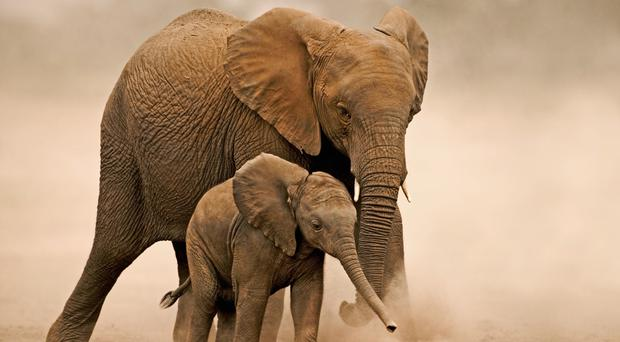 Thousands of African elephants are poached each year for their ivory tusks (Martin Harvey, WWF/PA)
