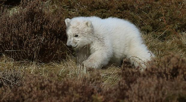 A polar cub has started venturing outside at Highland Wildlife Park (Andrew Milligan/PA)