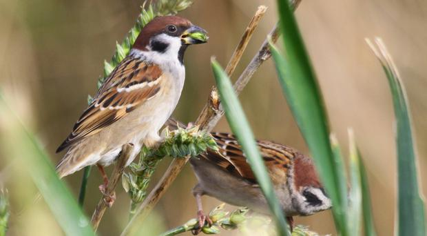 Rare tree sparrows are making a comeback at a former colliery site (Douglas Holden/PA)