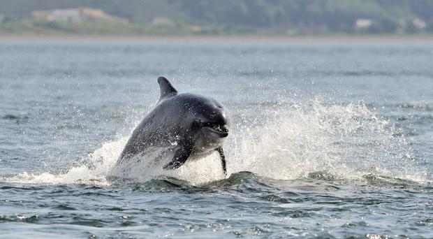A leaping Bottlenose dolphin in the Moray Firth (Lorne Gill/SNH/PA)