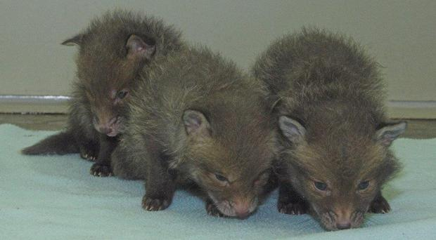 Three fox cubs are being cared for by the charity (Scottish SPCA/PA)
