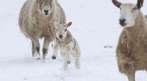 Lambs at Allendale in Northumberland, in snowy conditions (Owen Humphreys/PA)