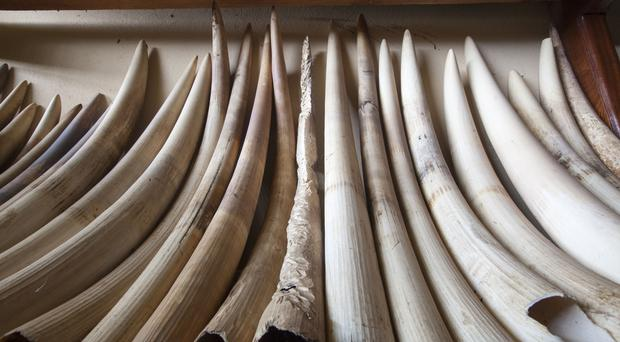 Ivory confiscated by the Ministry of Forests and Wildlife in Cameroon (WWF/Mike Goldwater)