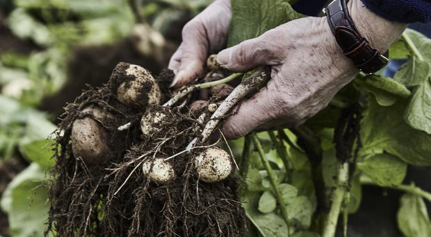Jersey Royal potatoes. (Clare Lewington/Jerseyroyals.co.uk)