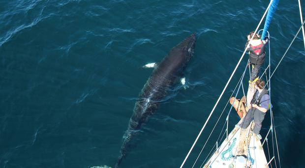 A minke whale photographed from the charity's research vessel (HWDT)