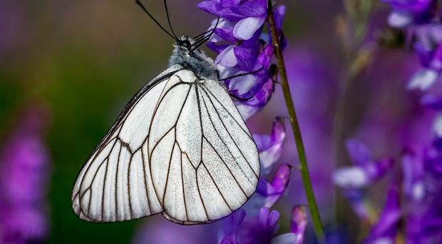 The black veined white was one of Sir Winston's favourite butterflies (Adam Gor/Butterfly Conservation/PA)