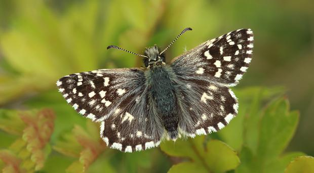 The grizzled skipper had its worst year on record in 2017 (Mark Searle, Butterfly Conservation/PA)