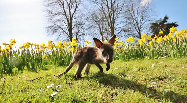 Newt the baby wallaby enjoying the sunshine at Longleat in Wiltshire (Ian Turner/PA)