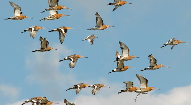 Black-tailed godwits are in decline in the UK, with only a small breeding population (WWT/PA)